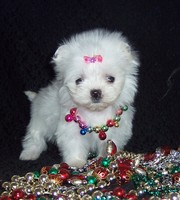 CUTE AND LOVING MALTESE FOR FREE ADOPTION